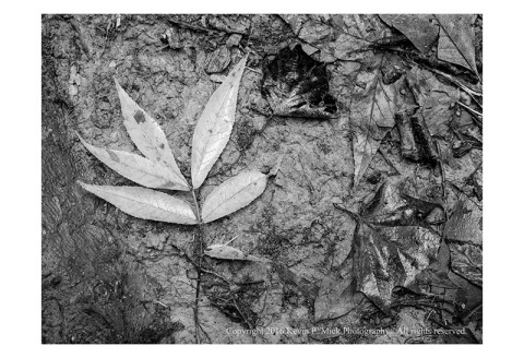 BW photograph of wet autumn leaves after a hard rain.