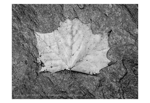 BW photograph of a wet maple leaf in autumn colour.