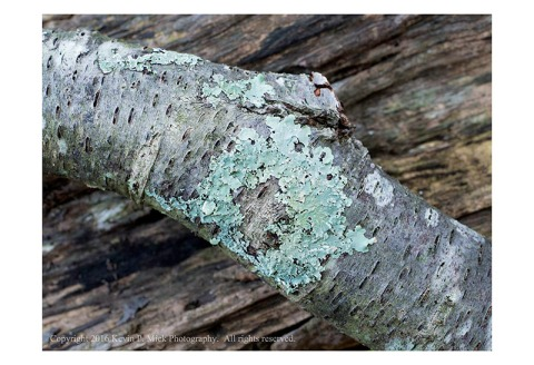 Lichen on a fallen branch laying across a log.