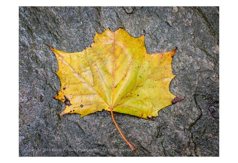 Wet maple leaf in autumn colour atop a rock.