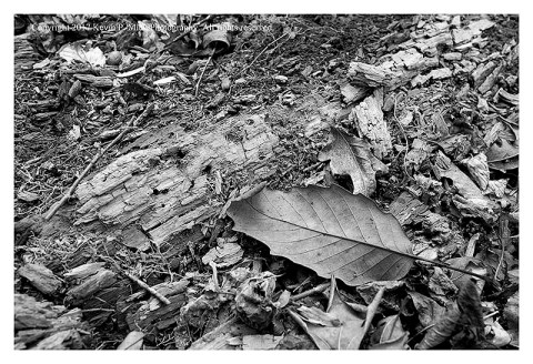BW photograph of a decomposing tree laying among some leaves.