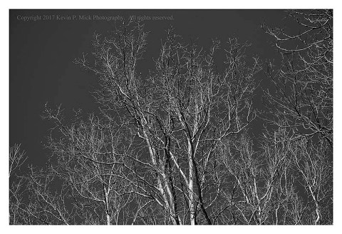 BW photograph of sycamore trees against the sky.