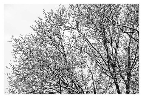 BW photograph of a lone robin in a snow covered tree.