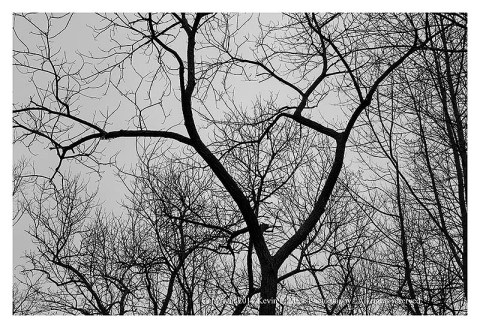 BW photograph of trees against an overcast sky.