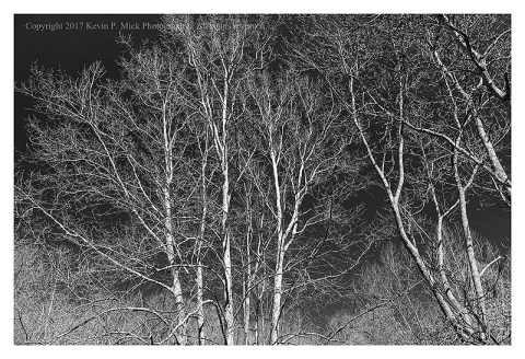 BW photograph of sycamore trees against a clear sky.