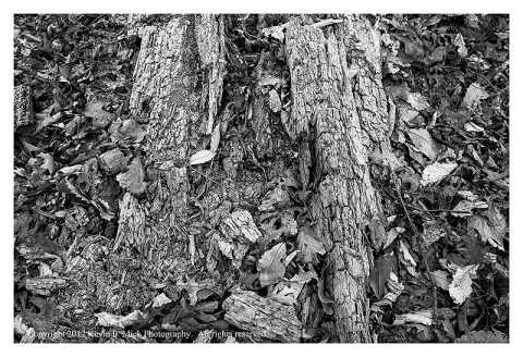 BW photograph of a decaying log laying amid fallen leaves.