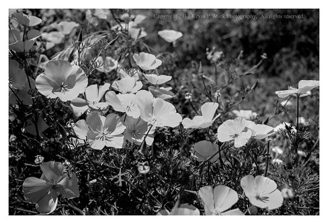 BW photograph of California poppies.