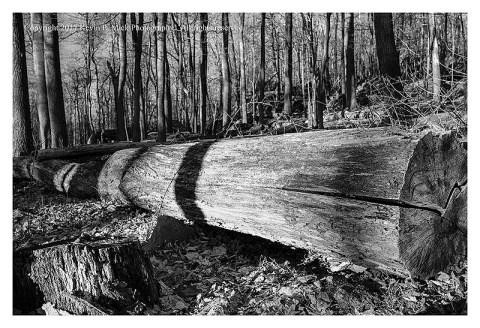 BW photograph of a fallen tree in contrasty light.