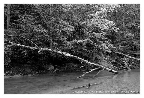 BW photograph of a downed tree at Morgan Run.