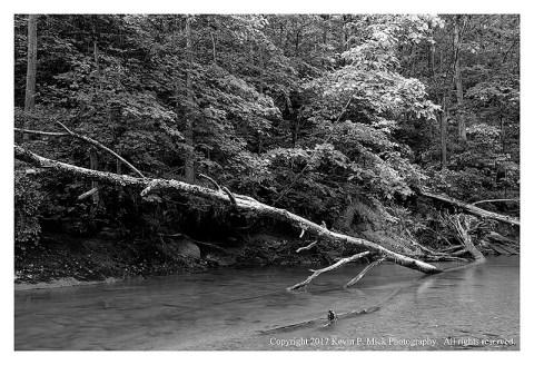 BW photograph of a downed tree at Morgan Run.