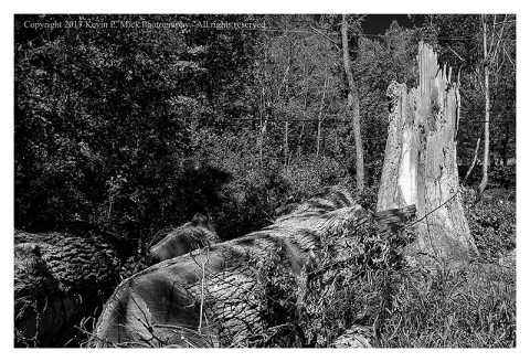 BW photograph of a fallen tree that has been segmented as it fell across a road.