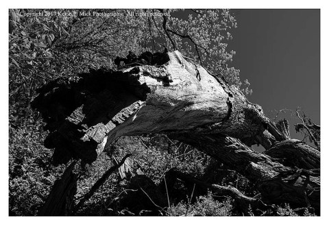 BW photograph looking up into the trunk of a fallen tree.