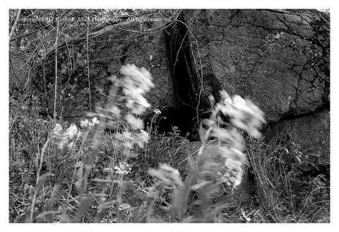 BW photograph of some weedy flowers blowing in the wind with Spangler's Spring rocks in the background.