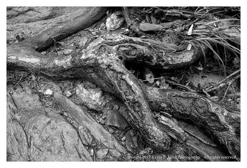 BW photograph of tree roots exposed by erosion.