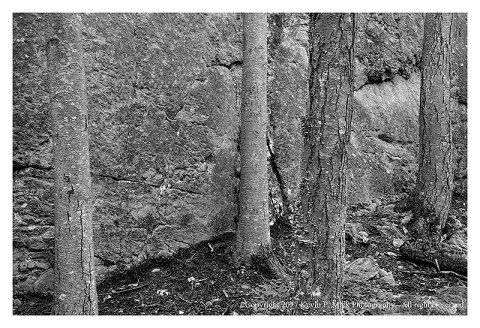 BW photograph of four tree trunks near Wolf Rock.