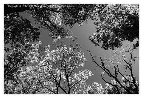 BW photograph of an upward looking view of tree tops against the sky.