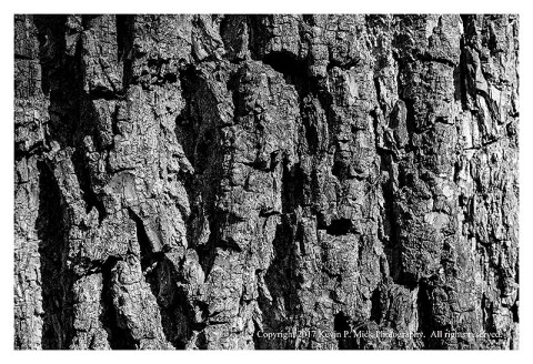 BW photogarph of pine bark up close.