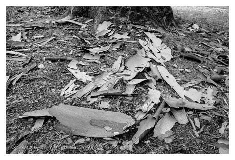 BW photograph of fallen sycamore tree bark.