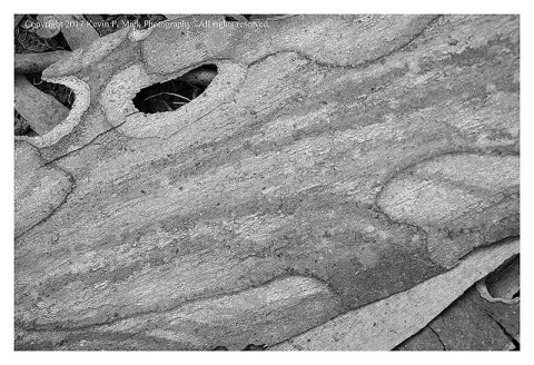 BW photograph of a large piece of sycamore bark up close.
