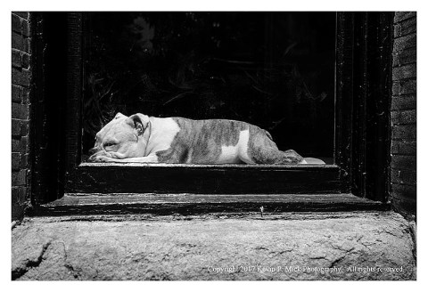 BW photograph of a bulldog sunning itself in a window.