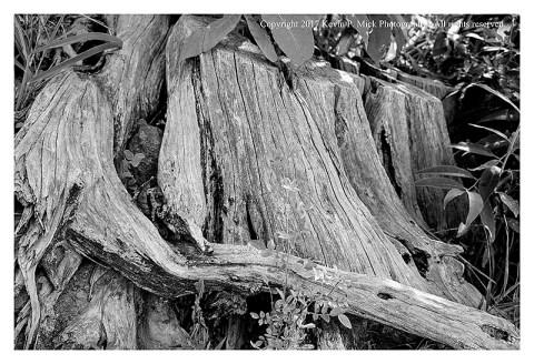 BW photograph of an old tree stump near Devil's Den in Gettysburg.
