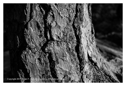 BW photograph of side-lit pine bark.