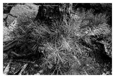 BW photograph of side-lit pine saplings.
