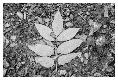 BW photograph of hickory leaves on the ground.