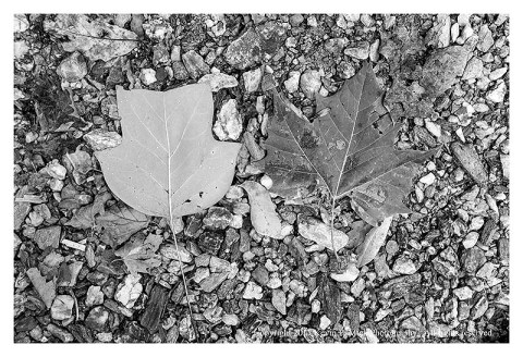 BW photograph of a poplar and sycamore leaves laying on the ground.