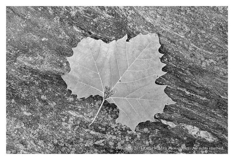 BW photograph of a sycamore leaf laying atop a rock.
