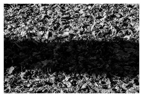 BW photograph of a tree shadow against a background of sycamore leaves.