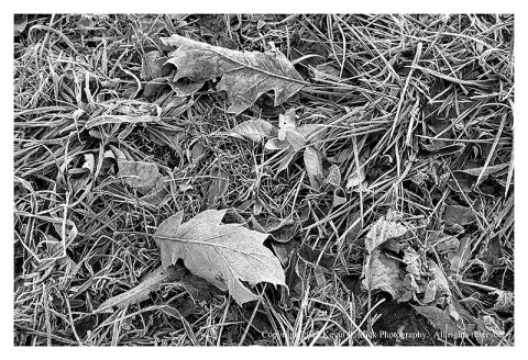 BW photograph of several frosty leaves laying upon the ground.