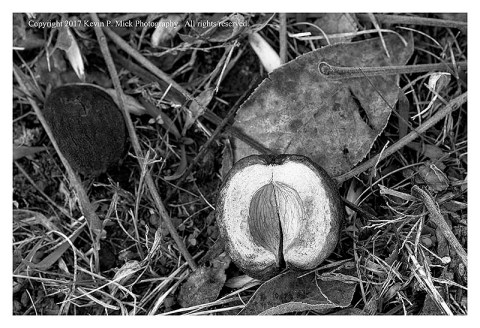 BW photograph of a nut case laying upon the gound.