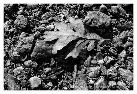 BW photograph of a dried oak leaf laying upon some rocks.