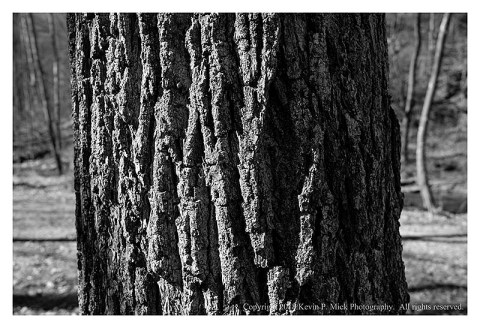 BW photograph of a sunlit southern pine at Morgan Run.