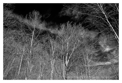BW photograph of sunlit sycamore trees against the sky.
