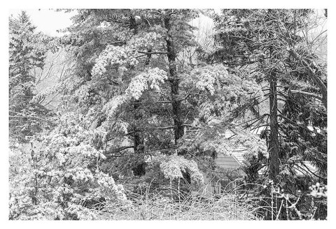 BW photograph of the snow on pine trees during the second March 2018 nor'easter.