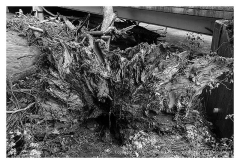 BW photograph of a sycamore root system after it has fallen against an overpass.