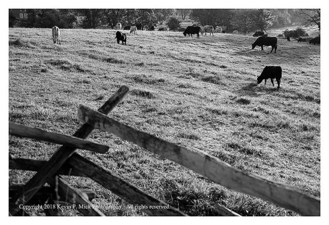 BW photograph of cows grazing in Gettysburg on a sunny morning.