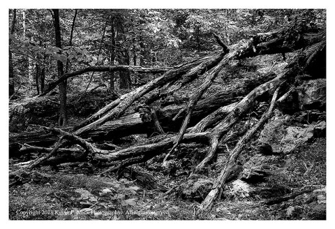 BW photograph of a fallen, broken, tree.