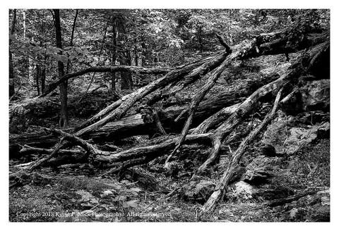 BW photograph of a fallen, broken, tree.
