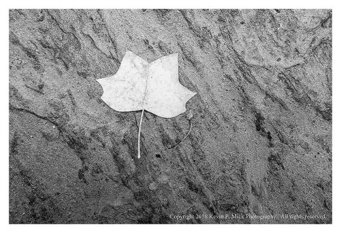 BW photograph of a poplar leaf laying atop a rock.