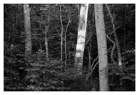 BW photograph of a sunlit tree on Culp's Hill.