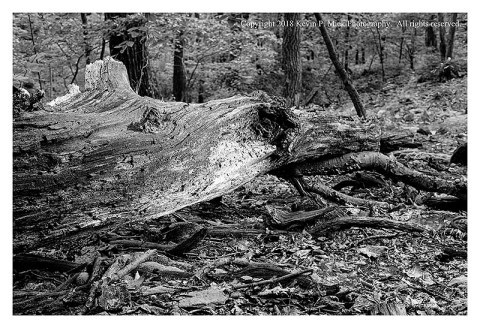 BW photograph of a sunlit downed tree that is decaying.