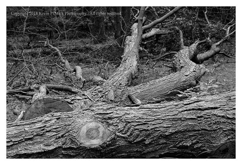 BW photograph of downed trees laying beside a trail.