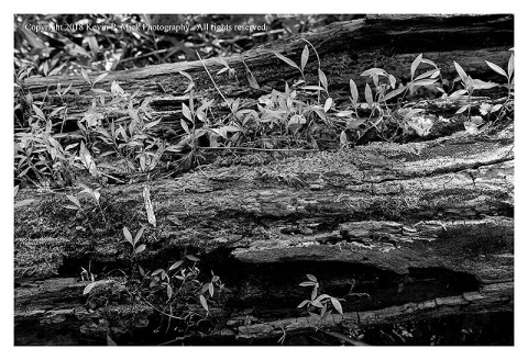 BW photograph of new plant growth within a decaying log.