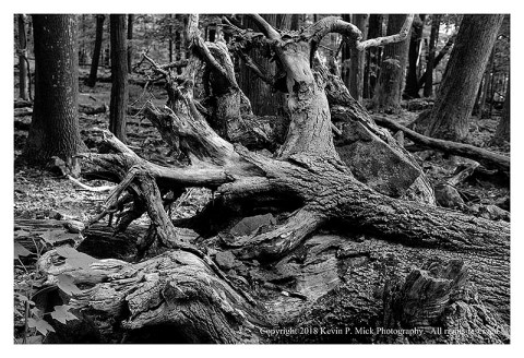 BW photograph of a downed tree's root system.