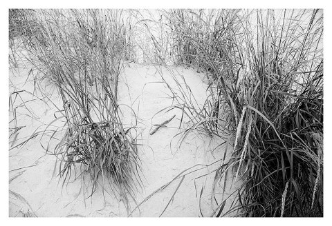 BW photograph of beach grasses.