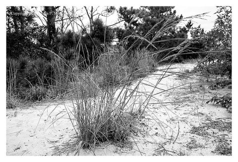 BW photograph of beach grasses with some wooded area in the background.