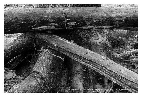 BW photograph of broken logs wedged against Sycamore roots after a flood.